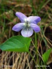 Early dog violet