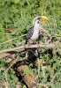 Eastern Yellow-billed Hornbill, Northern Yellow-billed Hornbill