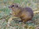 European Ground Squirrel