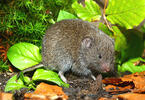 European Pine Vole, Common Pine Vole