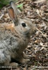 European Rabbit, Common Rabbit
