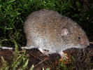 Field Vole, Short-tailed Vole