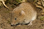 Filed Vole