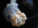 Floating bell, Australian spotted jellyfish, white-spotted jellyfish