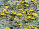 Fringed Water-lily, Yellow Floating-heart, Water Fringe