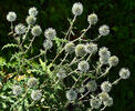 Glandular globe-thistle, Great globe-thistle, Pale globe-thistle,