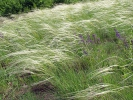 Great feather grass