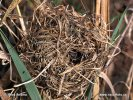 Harvest Mouse (nest)