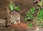 Herb Field Mouse