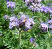 Lacy phacelia, Blue tansy, Purple tansy.