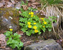 Marsh-marigold, Kingcup