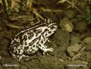 Mongolian Toad, Siberian Toad