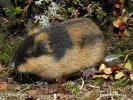 Norway lemming
