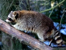 Raccoon, Common raccoon, North American raccoon, Northern raccoon