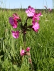 Red campion, Red catchfly