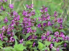 Red deadnettle, Purple deadnettle, Purple archangel