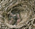 Reed Bunting - nest and nestlings