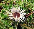 Stemless carline thistle, Dwarf carline thistle, Silver thistle