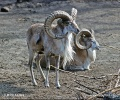 Turkmenian sheep, Afghan Urial