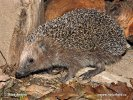 Western Hedgehog