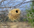 White-browed Sparrow-Weaver - nest