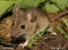 Wood Mouse,