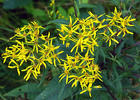 Wood ragwort