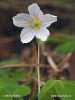 Wood sorrel, Common wood sorrel