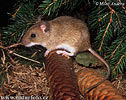 Yellow-necked Field Mouse