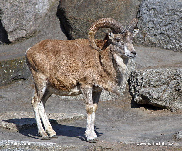 Turkmenian sheep, Afghan Urial (Ovis cycloceros)