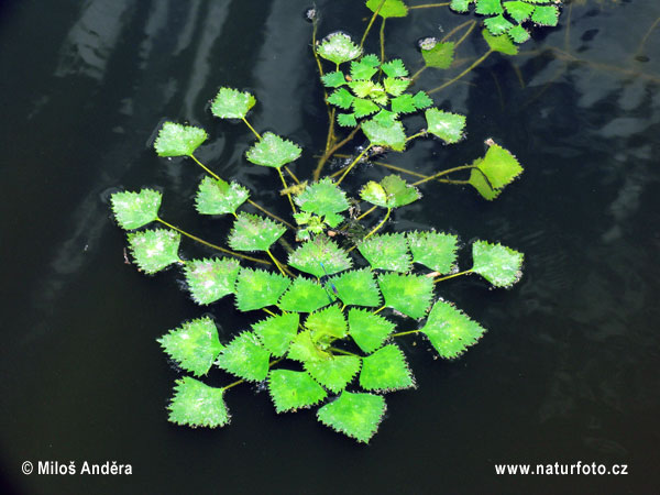 Water chestnut (Trapa natans)