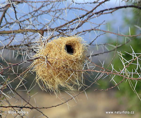 White-browed Sparrow-Weaver - nest (Plocepasser mahali)