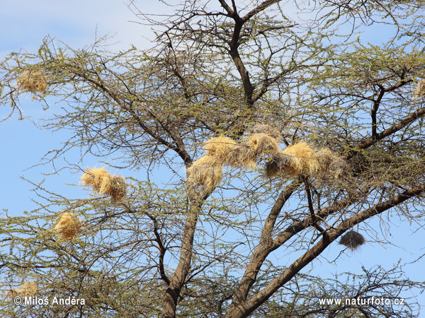 White-browed Sparrow-Weaver - nests (Plocepasser mahali)