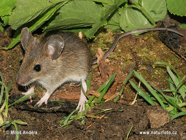 Wood Mouse, (Apodemus sylvaticus)