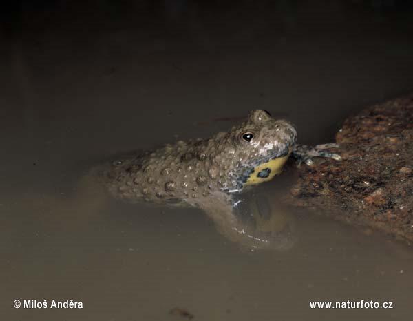 http://www.naturephoto-cz.com/photos/andera/yellow-bellied-toad-i03875.jpg