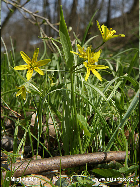 Yellow Star-of-Bethlehem (Gagea lutea)
