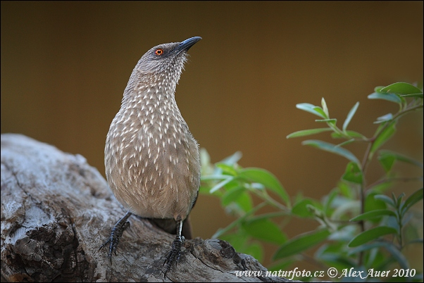 Arrow marked Babbler (Turdoides jardineii)