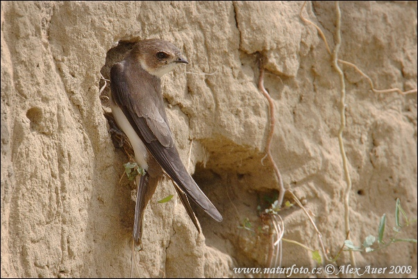 Bank Swallow (Riparia riparia)