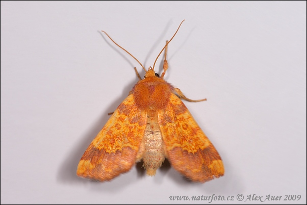 Barred Sallow (Tiliacea aurago)