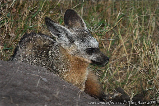 Bat-eared Fox (Otocyon megalotis)