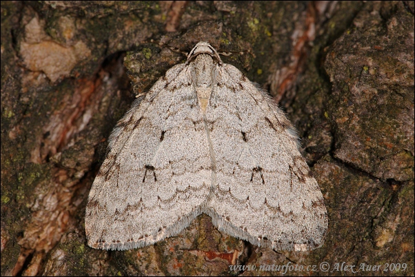 Beautiful Snout (Epirrita autumnata)
