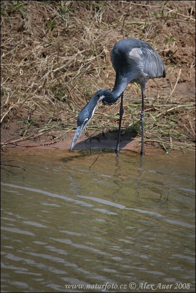 Black headed heron - photo#21