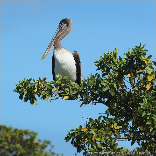 Brown Pelican (Pelecanus occidentalis urinator)