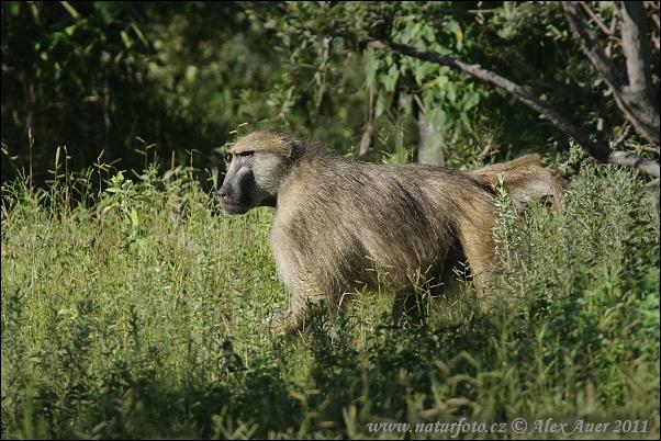 Chacma baboon - photo#28