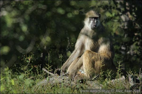 Chacma baboon - photo#26