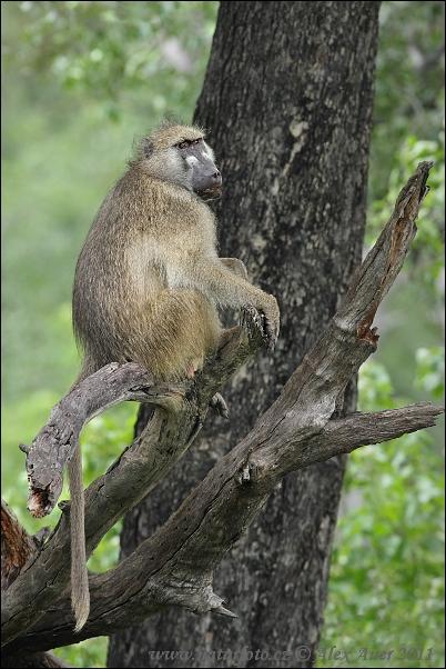 Chacma baboon - photo#24