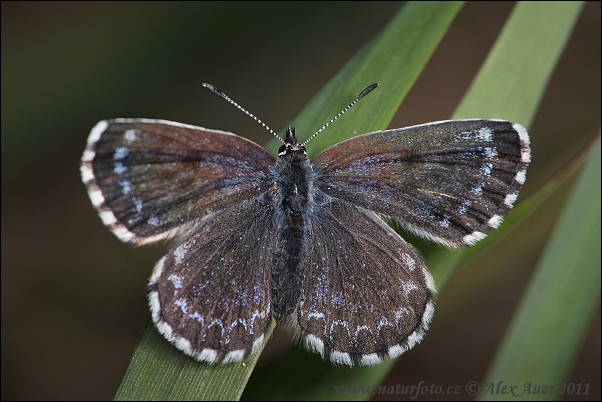 Chequered Blue (Scolitantides orion)