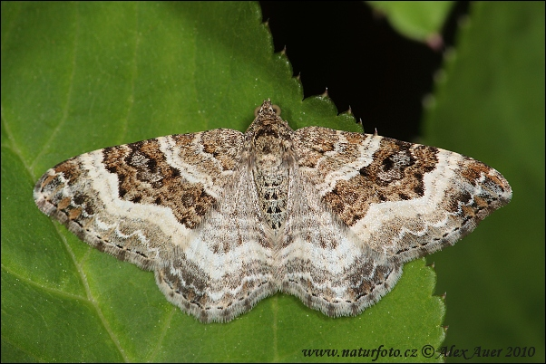 Common Carpet (Epirrhoe alternata)