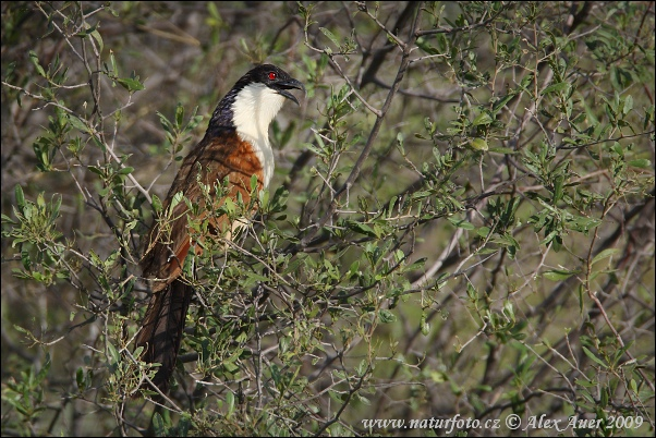 Coppery-tailed Coucal (Centropus cupreicaudu)