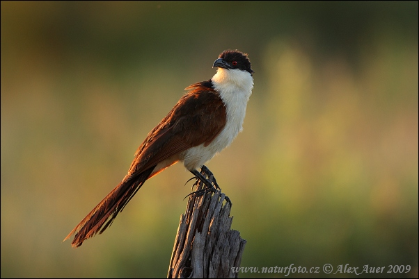 http://www.naturephoto-cz.com/photos/auer/coppery-tailed-coucal-xxx2z8h1328mw.jpg